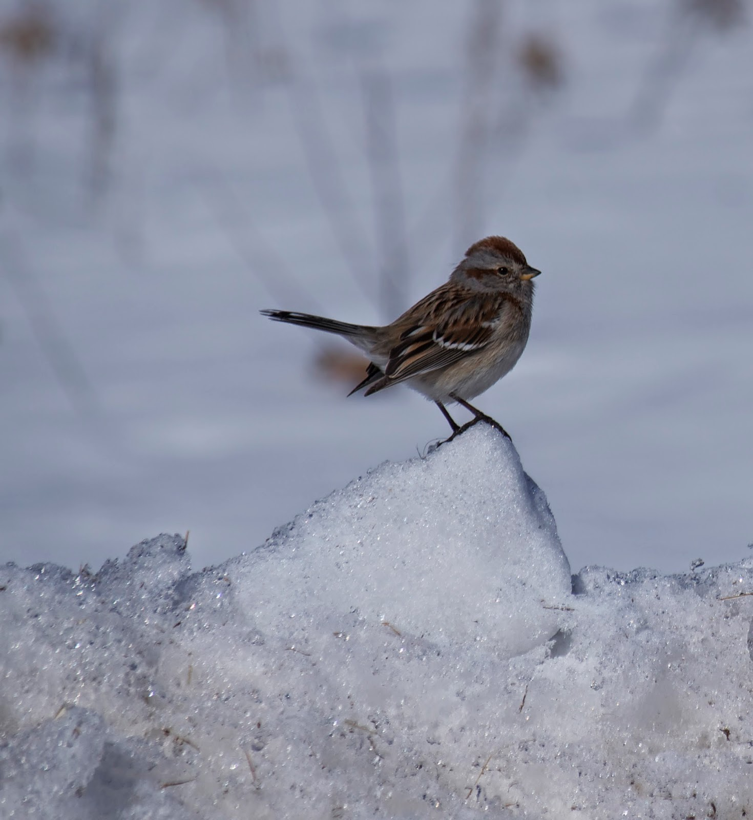 sparrow on a drift of snow