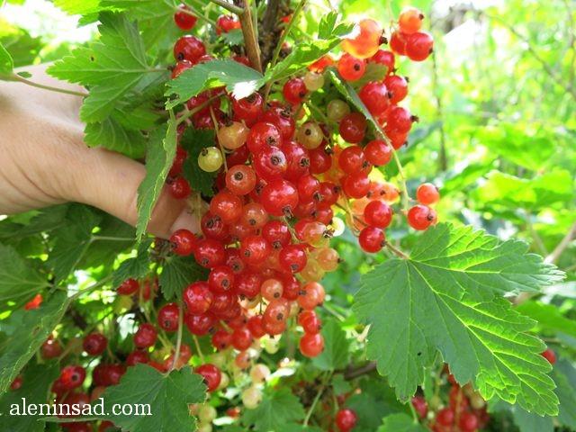 красная смородина, аленин сад, июль