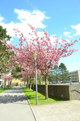 Vollsmose Japanske Kirsebærtræer