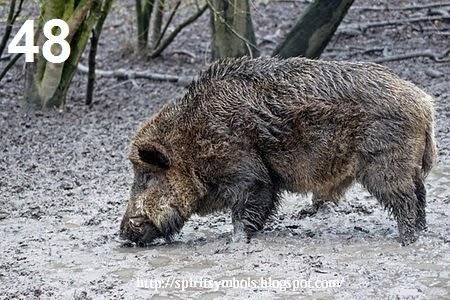 Spirit Symbols Wild Boar