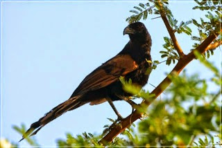 Gambar Cara Merawat Burung Bubut