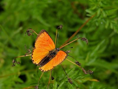 Lycaena virgaureae, anverso alar de un macho
