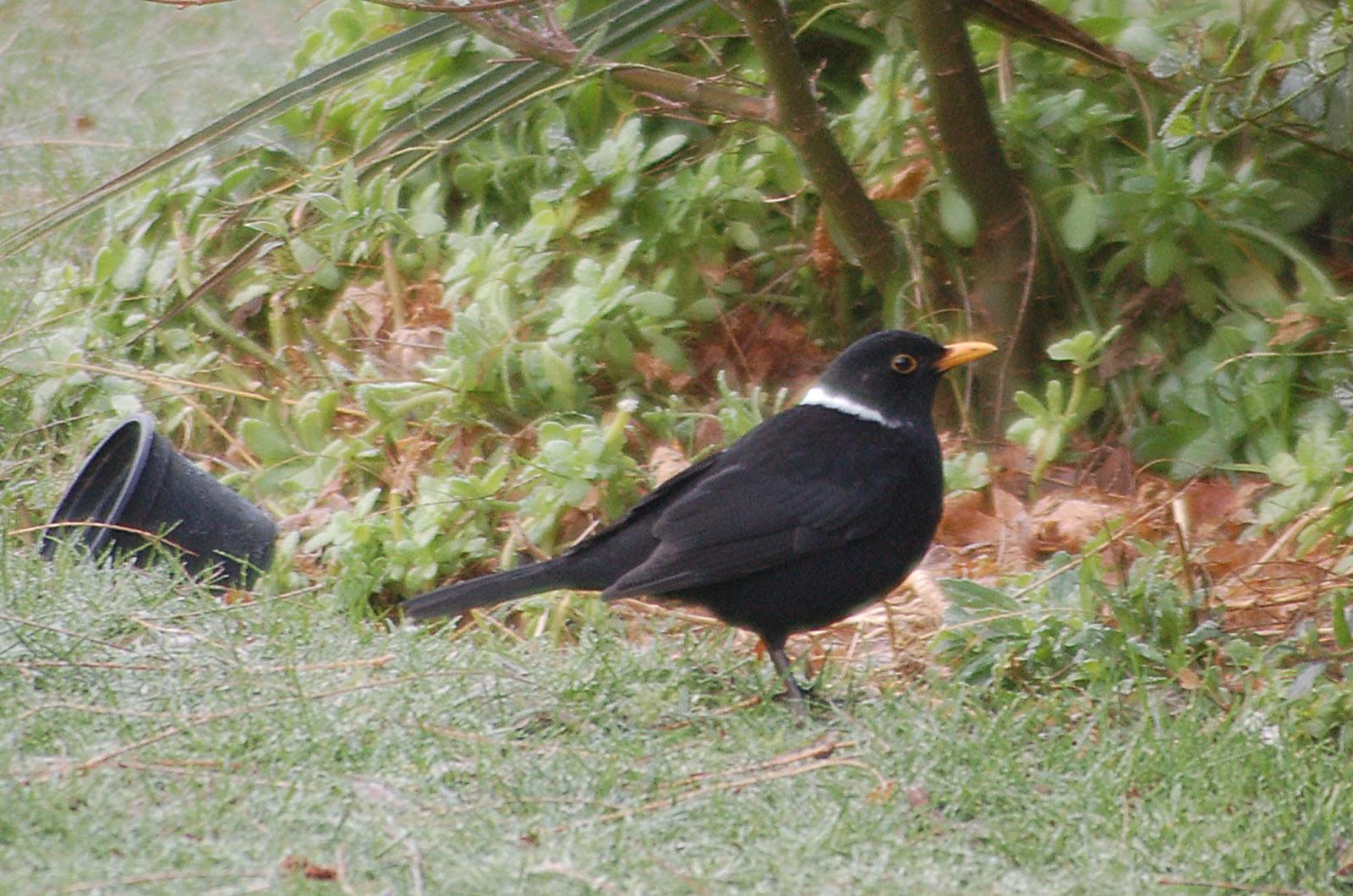 brian s birding white necked blackbird finally drops in