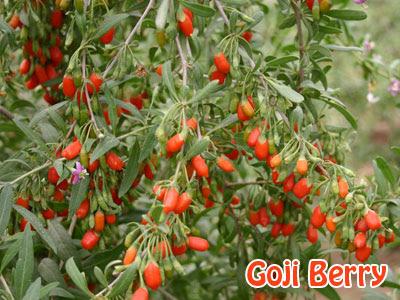 Manfaat Goji Berry
