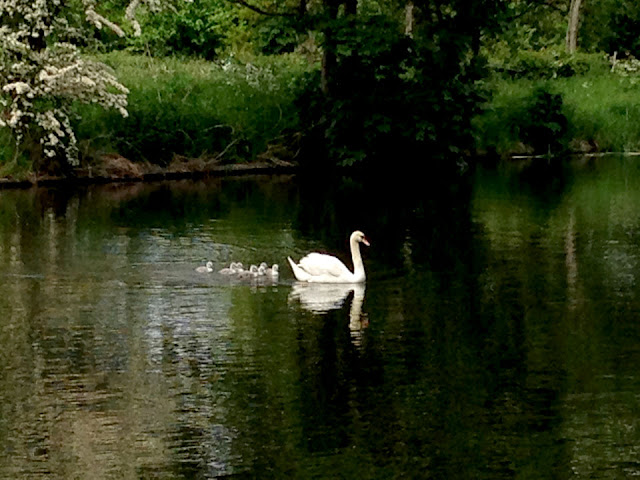 swans and cygnets on the river