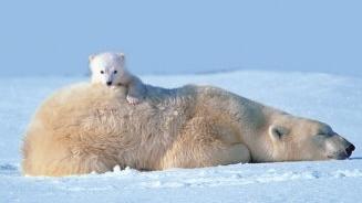 Foto de Oso polar cachorro encima de su madre