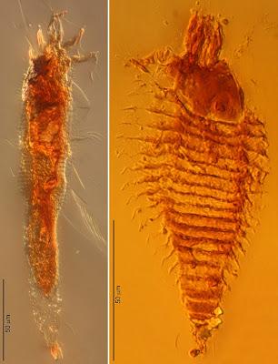 Penemuan Fosil Serangga Yang Terbungkus Getah Karet [ www.BlogApaAja.com ]