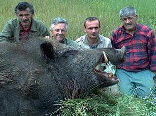 Penemuan Babi Raksasa Menghebohkan !