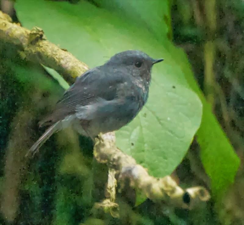 Plumbeous Redstart (Rhyacornis fuliginosa affinis)