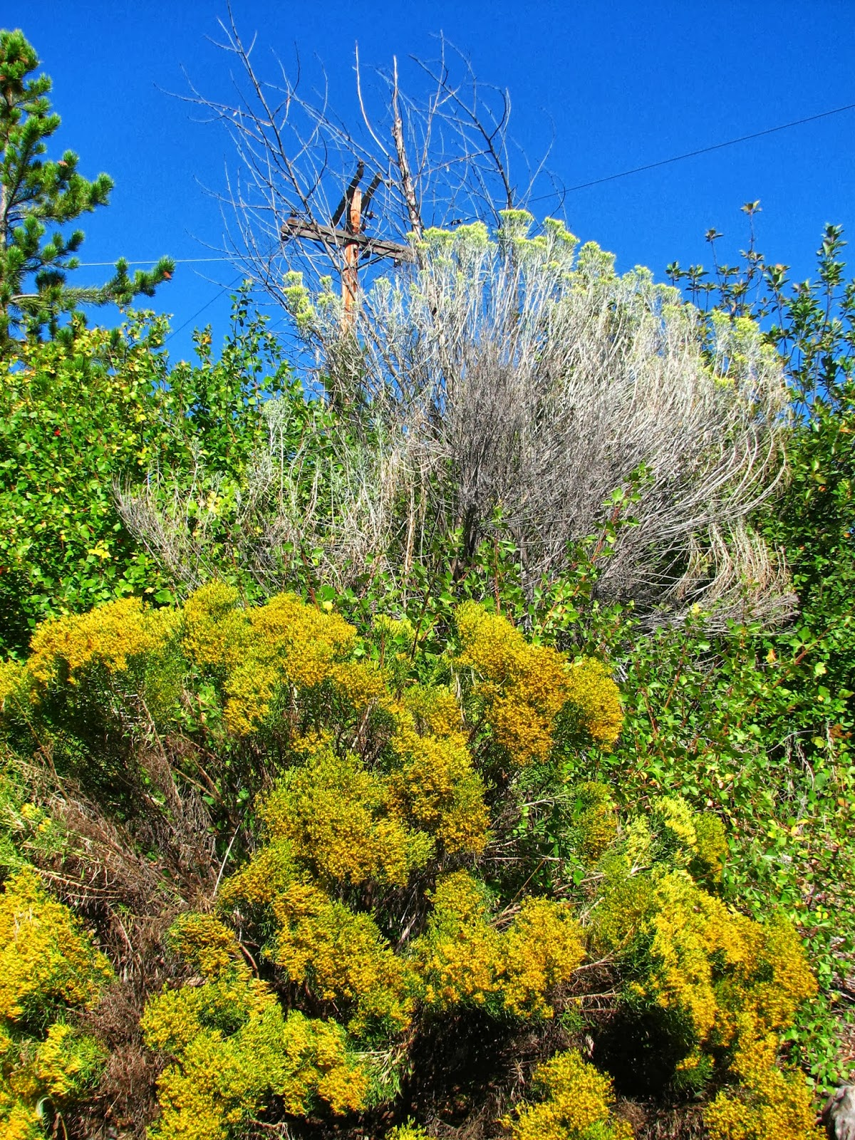 Flora Montana Rabbitbrush