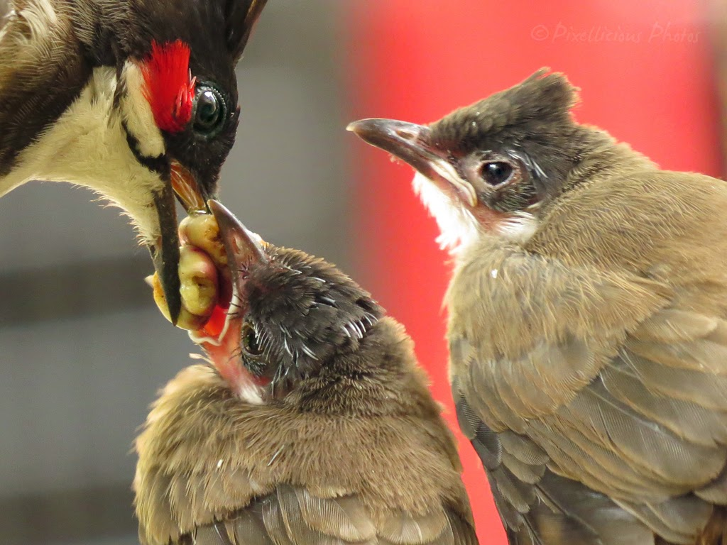 Adult Bulbul Feeding the Chicks