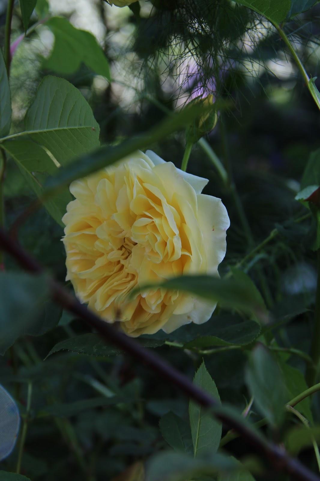LuciolaGeorgia Rose t3sjlEae