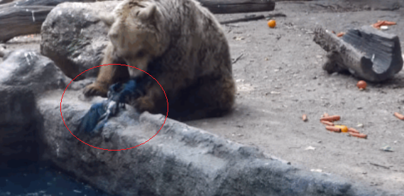 Bear in budapest zoo saves crow from drowning