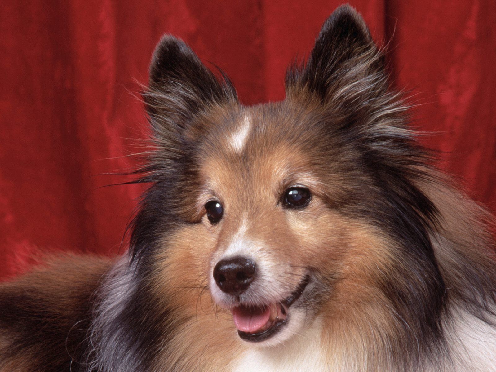Cute Puppy Dogs: Shetland Sheepdog Puppies