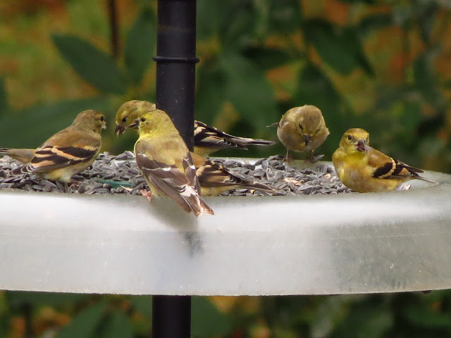american goldfinches eating seeds