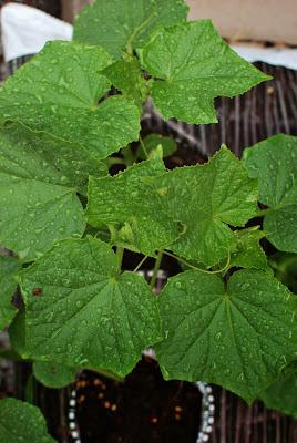 Muonamiehen mökki - Kurkun kasvusäkkiviljelyä