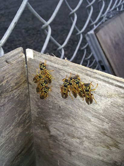 wasps, bees, yellowjackets, pest control, walla walla, extermination