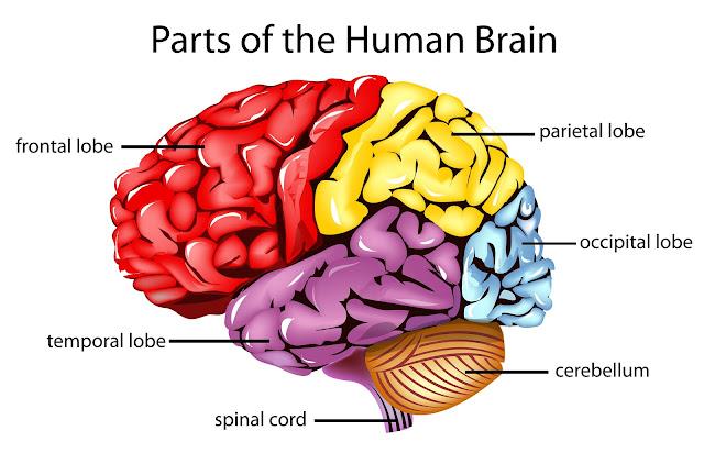 Brain Divisions1