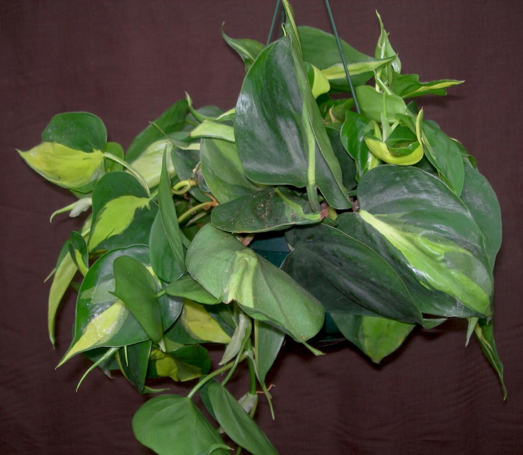 Viveros vangarden hojas acorazonadas for Vivero plantas tropicales