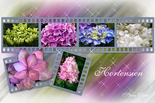 Hortensien von Arti