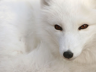 fox animal wallpaper rubah white species dog