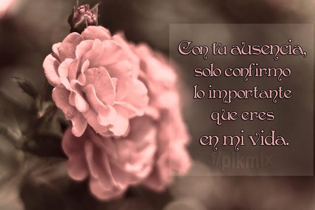 Con tu ausencia ● Frases de amor ● Rosas rosas, macro