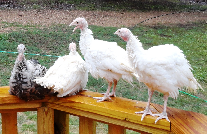Midget white heritage turkeys poults