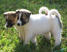Canaan Dogs Puppy