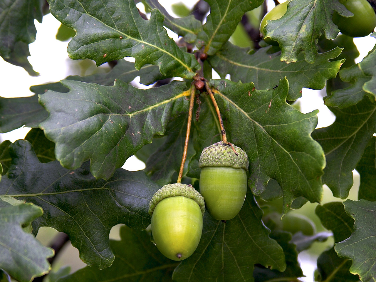 Planting Live Oak Tree Acorns : Journaling in your own words do you know plants