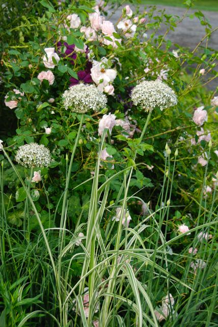 To the left of the rose bush are a few of the Allium multibulbosum that I was raving about. Their foliage is a bit large, but I have found it bearable so far this year. And I love how they pair with my new-therefore-tiny ornamental grass, Miscanthus sinensis 'Dixieland'.