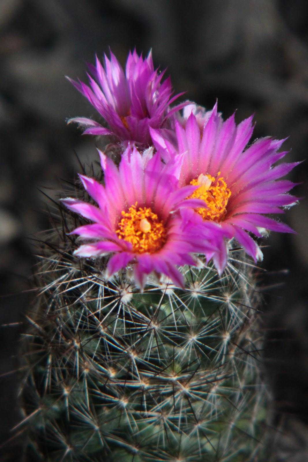 Rock Oak Deer Foxtail Cactus Blooms
