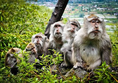 Changos, monos o simios en el bosque