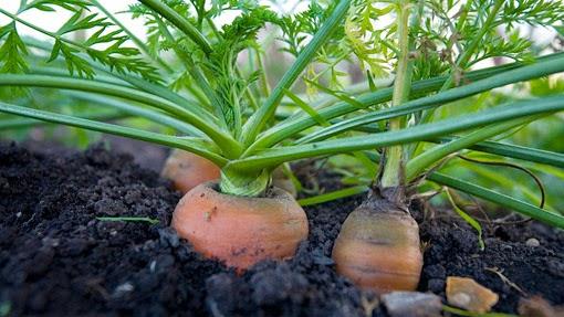tips rahasia cara menanam wortel dengan benar dan hasil
