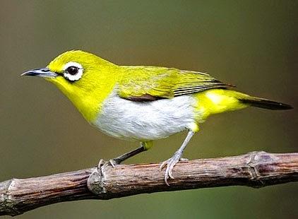 Cara Merawat Burung Pleci | Kacamata Agar Cepat Gacor