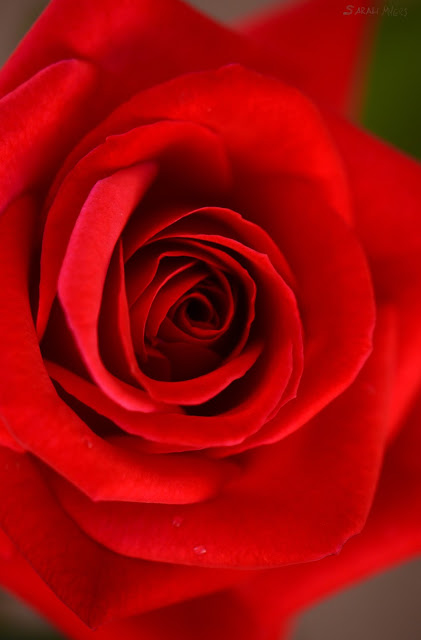 rose, rosebud, sarah myers, photography, photograph, nature, plant, flower, garden, beauty, flores, rosa, macro, close-up, bright, brilliant, tea, modern, hybrid, red, spiral, petals, heart, center, centre