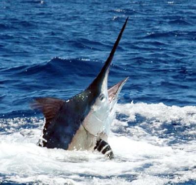 menyolok untuk mancing ikan ikan sejenis marlin layaran dan lemadang