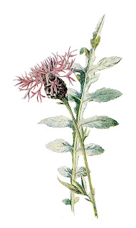 wildflower flower illustration larger knapweed