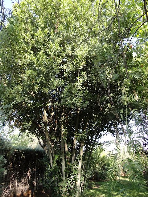 LAUREL (Laurus nobilis). Imágen de un laurel en el jardín.