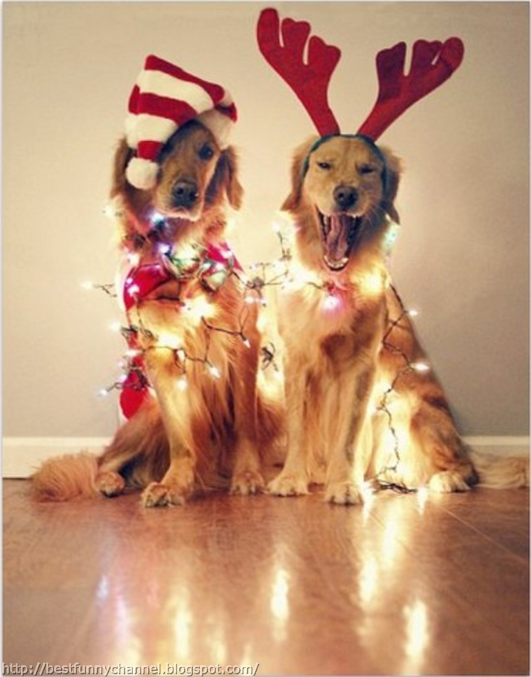 Merry Christmas Funny Dog Two funny christmas dogs.