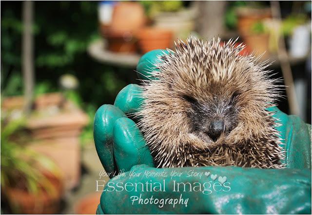 Hedgehog helping hand
