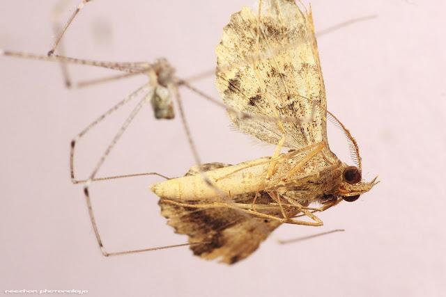 Rama-rama jadi hidangan makan malam labah-labah rumah