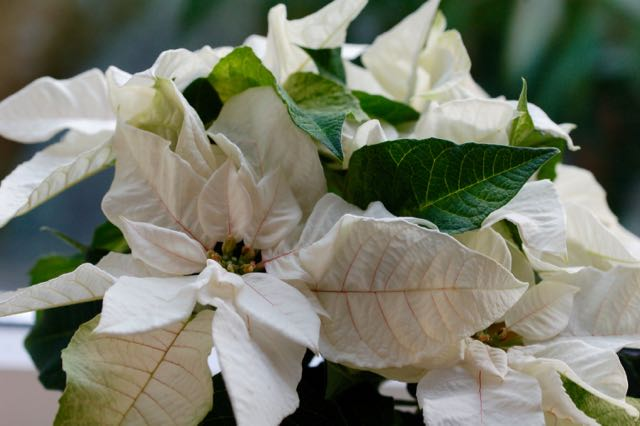White Christmas Poinsettias Photo