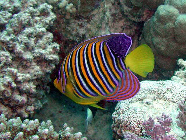 Angelfish With Pictures Fish Pictures Online