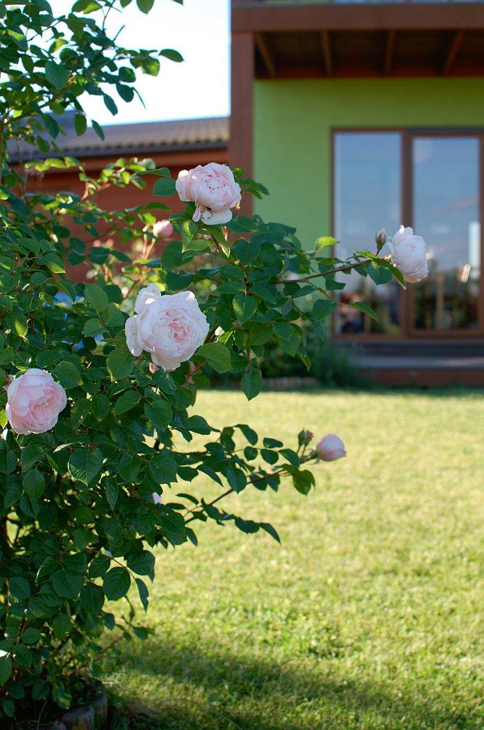 Generous Gardener Rose Gardens Pinterest