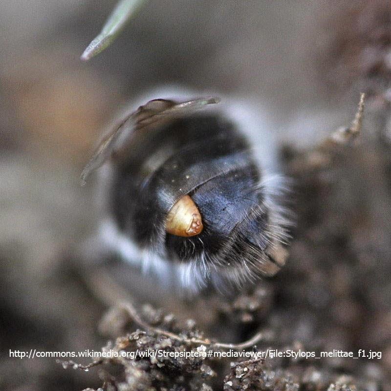 Strepsiptera eyes