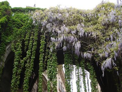 wisteria glicine via giulia roma rome