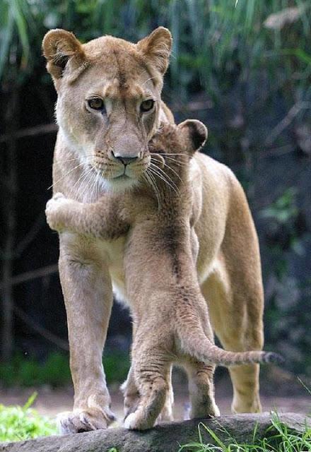 Tigre madre e hijo