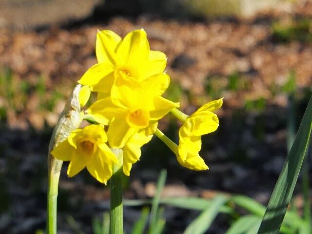 珍しくもないスイセンの花。