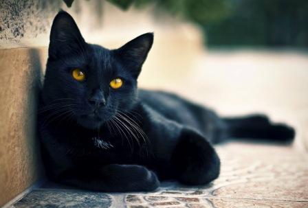 ¿Cual es tu animal favorito? Gato-Negro-de-Ojos-Amarillos_Fondos-de-Gatos+(1)