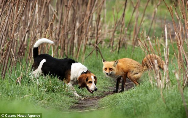 Foranimallover He S Behind You Fox Chases Beagle In